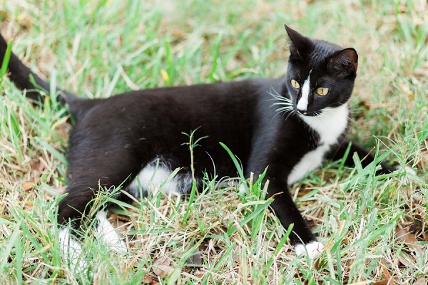 © MIchelle Mock Photography | tuxedo-cat-outside, on-location-cat-photography session