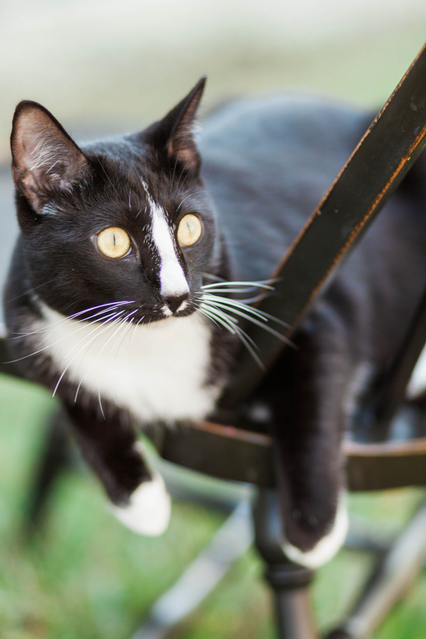 tuxedo-cat-on-chair-outside, on-location-cat-portaits