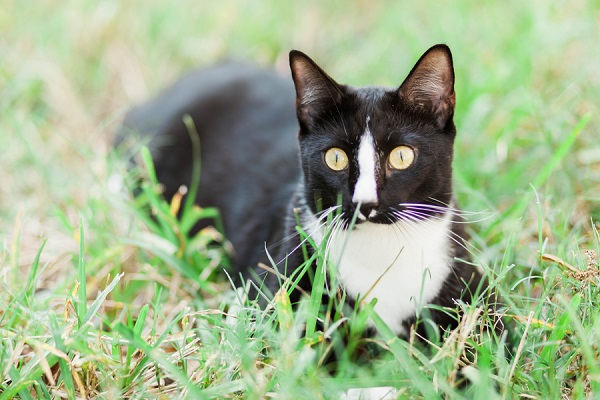 © MIchelle Mock Photography | tuxedo-cat-outside, Figaro-black-white-cat