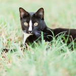 on-location-pet-photography, tuxedo-cat-in-grass
