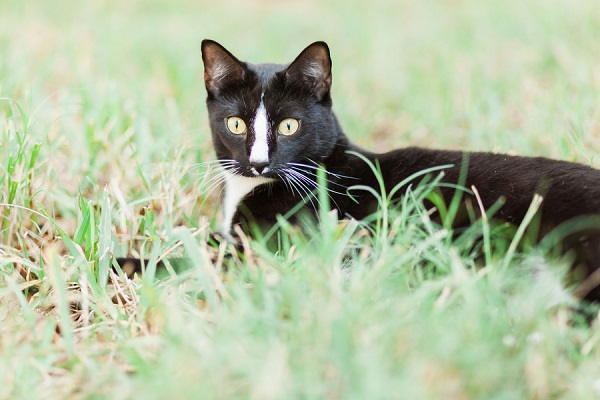© MIchelle Mock Photography | on-location-pet-photography, tuxedo-cat-in-grass