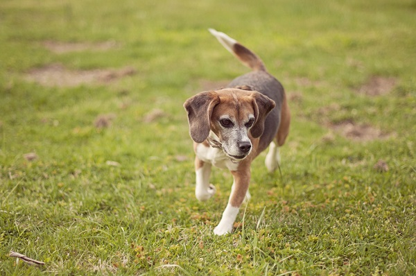 © Sweet Rocket Photography|  former-lab-Beagle-enjoys-freedom