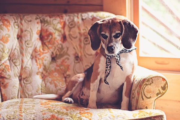 © Sweet Rocket Photography |rescued beagle from research lab