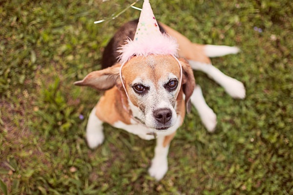 © Sweet Rocket Photography|  ex research lab Beagle wearing party hat, Beagle Freedom Project