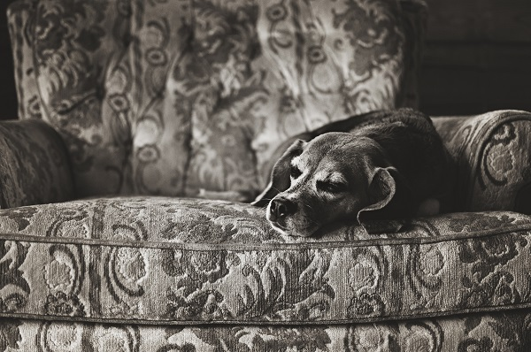 © Sweet Rocket Photography | sleeping Beagle, lifestyle pet photography, blog the change for animals