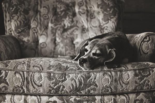 © Sweet Rocket Photography | sleeping Beagle, lifestyle pet photography, blog the change for animals