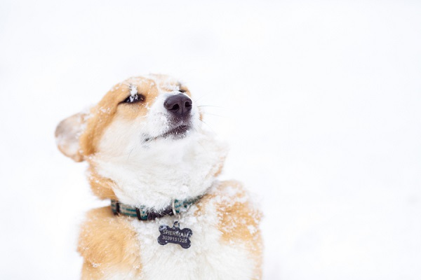 © Urban Safari Photography |  Snow-dog, lifestyle-dog-photography, Corgi-Stink-eye