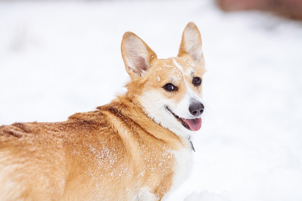 © Urban Safari Photography | Corgi in snow