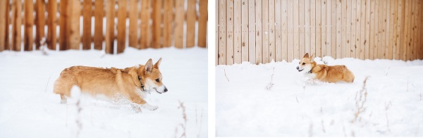 © Urban Safari Photography | Corgi-running-snow1