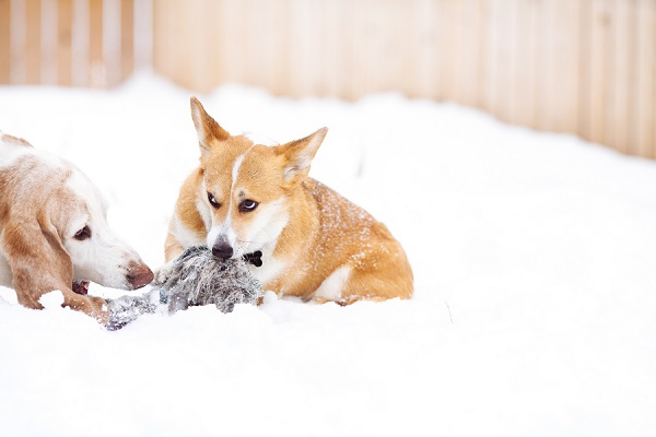 © Urban Safari Photography | Basset-Corgi-with-toy, snow-dogs, on-location-dog-photography,