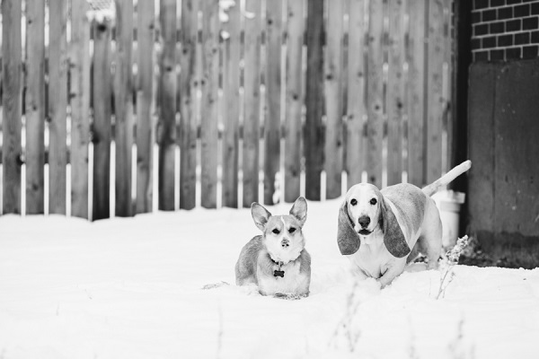 © Urban Safari Photography | dog bffs, Corgi senior-Basset-Hound, snow dog,