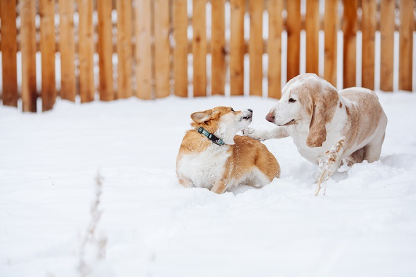 © Urban Safari Photography | Corgi-and-Basset Hound playing-in-snow, Denver-lifestyle-dog-photography
