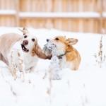 Corgi-Basset-Hound-playing-in-snow