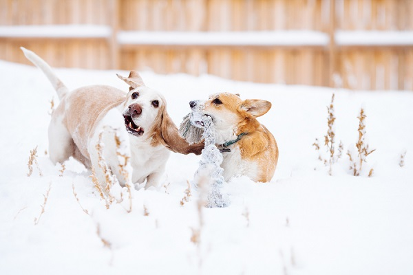 © Urban Safari Photography | Corgi-Basset-Hound-playing-in-snow, dog-dynamic-duo, dog-bffs