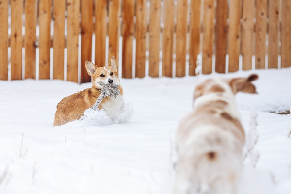 © Urban Safari Photography | Corgi-Basset-Hound-playing-in-snow, Denver-dog-photography