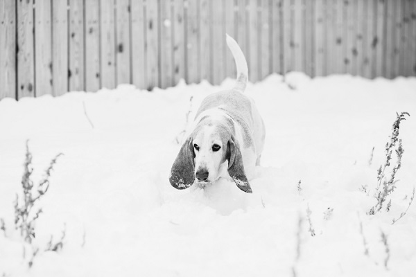 © Urban Safari Photography | senior-Basset-Hound, snow dog, dog-portrait