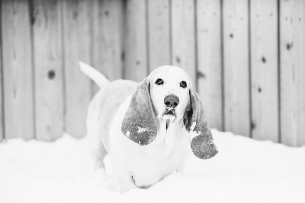 © Urban Safari Photography | senior-Basset-Hound, snow dog