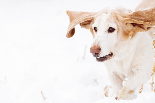 © Urban Safari Photography | senior-Basset-Hound, snow dog, Basset-ears-flying