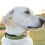 handsome-dog, handsome-Labrador-Retriever