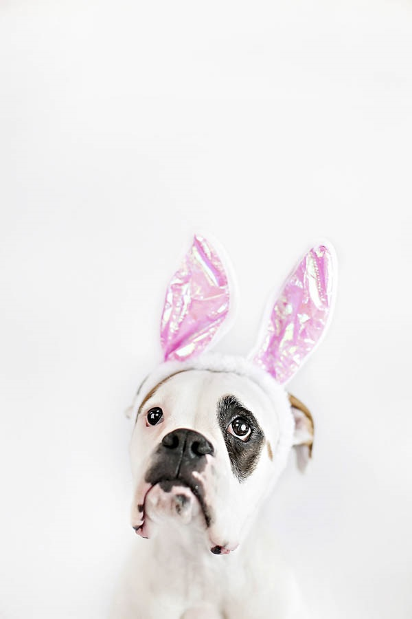 © April Ziegler Photography | Boxer-bunny-ears, Easter-Boxer, Philadelphia-studio-dog-photography