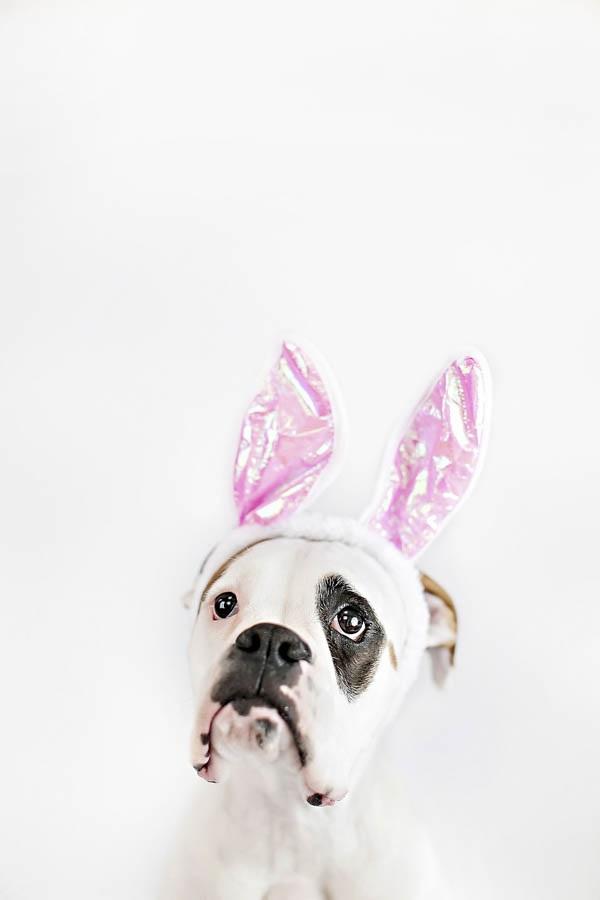 © April Ziegler Photography | Boxer-bunny-ears, Easter-Boxer, Philadelphia-studio-dog-photography
