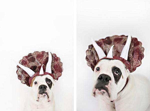 © April Ziegler Photography | dog-triceratops-costume, dog-wearing-dinosaur-costume, Boxer
