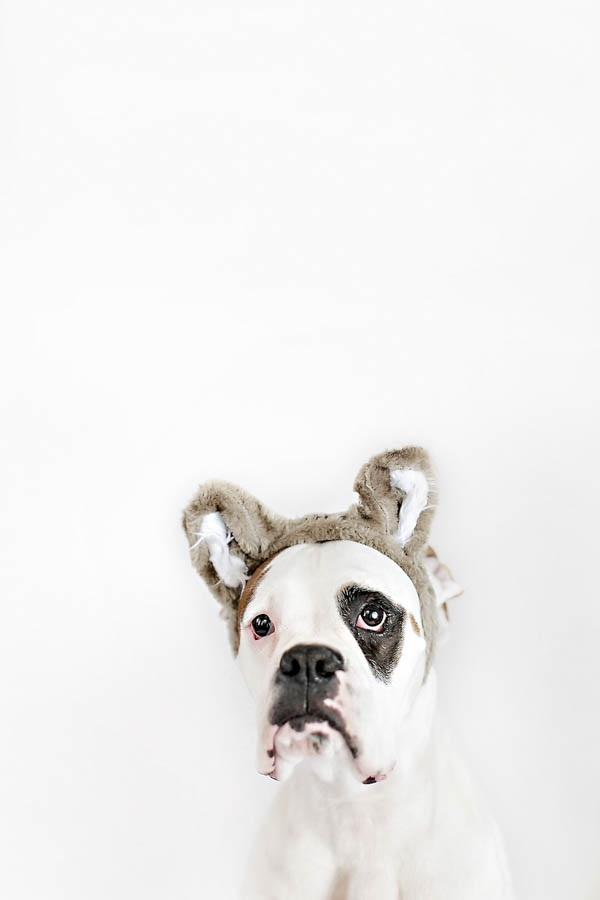 © April Ziegler Photography | Boxer-wearing-bear-ears, dog-wearing-costumes