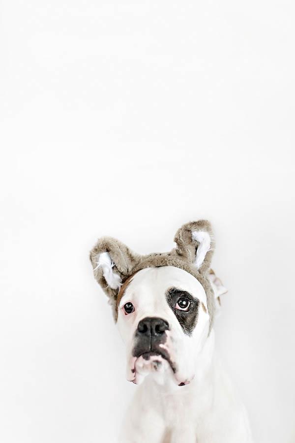 © April Ziegler Photography | Boxer-wearing-bear-ears, dog-wearing-costumes