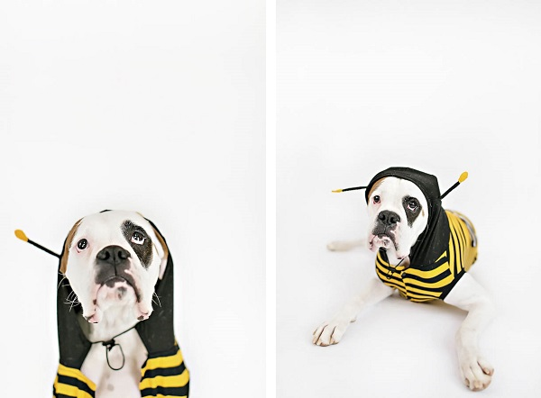 © April Ziegler Photography | Boxer-in-bee-costume, dog in costume