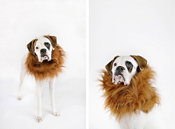© April Ziegler Photography | dog-lion-costume, dog wearing costumes