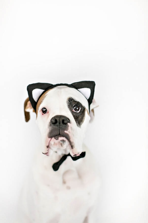 © April Ziegler Photography | Boxer-wearing-cat-ears,