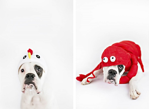 © April Ziegler Photography | Dog-wearing-animal-costumes, chicken, crab, Philly-studio-pet-photography