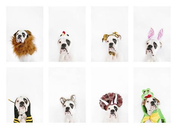 © April Ziegler Photography | dog-wearing-costumes, nursery-prints, Boxer-in-costumes, Philadelphia-pet-photographer