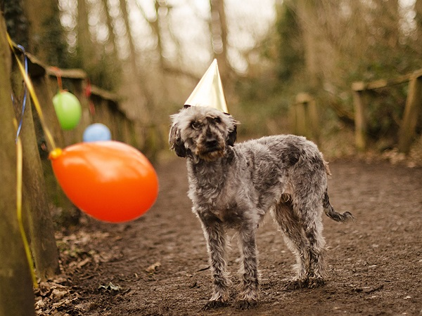 © Goblin Child | balloons, party-hat, gray-dog, celebrating dog