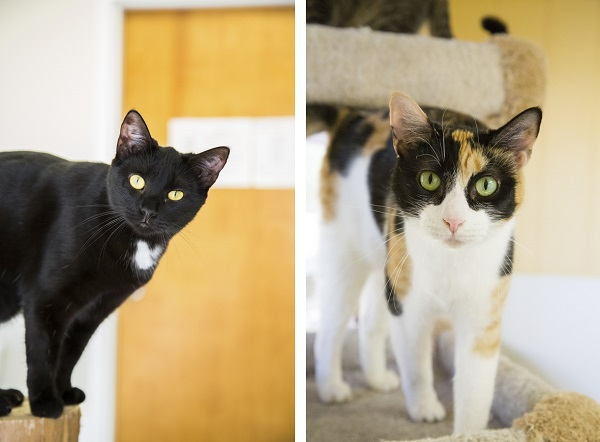 ©Lindsi Jones Photography | adoptable cats, black cat, calico cat