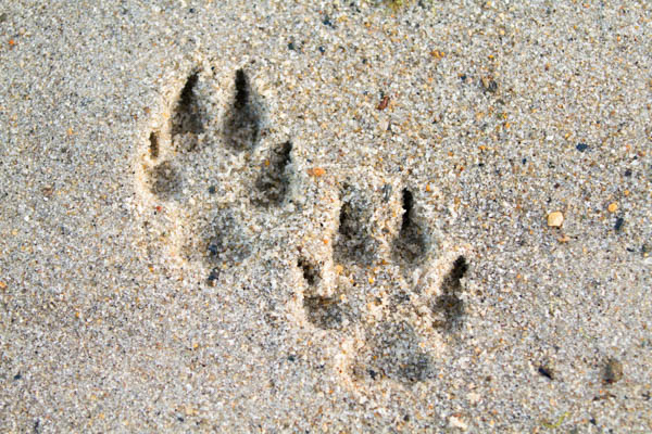 © Lydia Leclair Photography | dog-paw-prints-in-sand