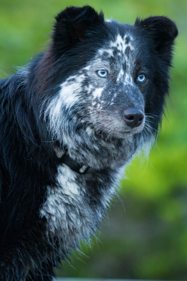 © Lydia Leclair Photography | Border-Collie, Cape-Cod dog portraits