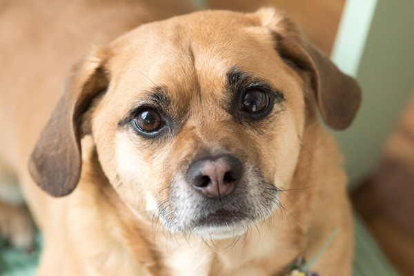 © Alice G Patterson Photography | Puggle, Syracuse-pet-photography
