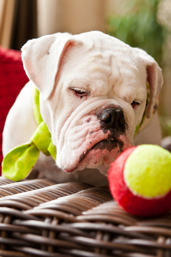 © Hot Dog Digital Photography | English-Bulldog-tennis-ball