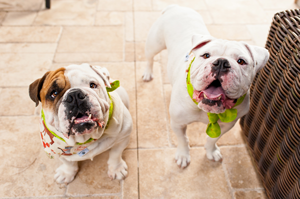Hot Dog Digital Photography English Bulldogs
