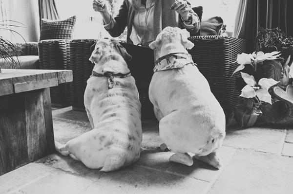 © Hot Dog Digital Photography |  English Bulldogs, lifestyle-pet-photography