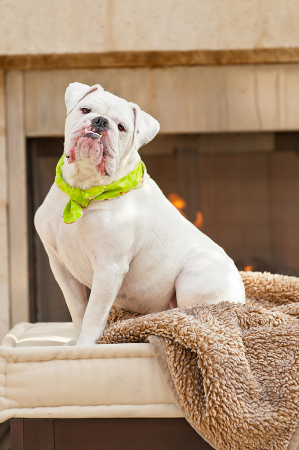 © Hot Dog Digital Photography | handsome English Bulldog