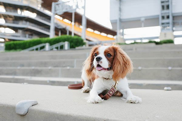 © Jenny Karlsson Photography | lifestyle  puppy photography session, Heinz Field pet photography, Cavalier