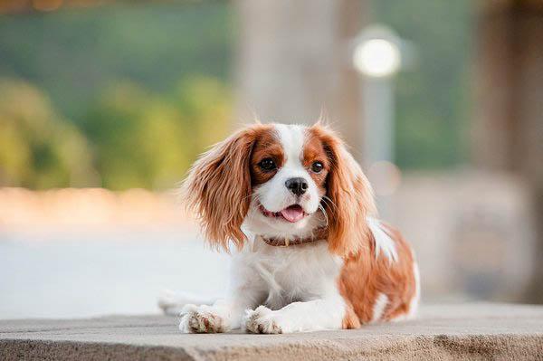 © Jenny Karlsson Photography | King Charles Spaniel puppy