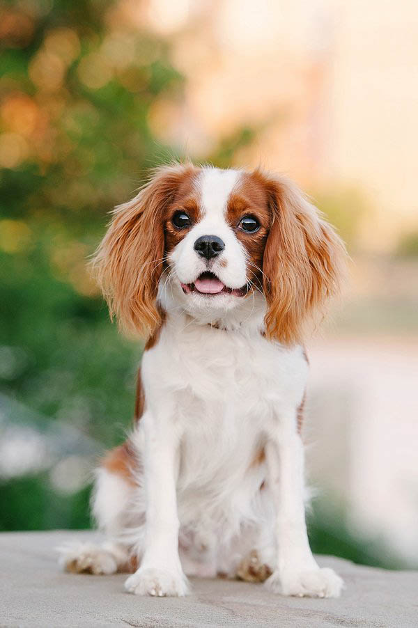 © Jenny Karlsson Photography  | adorable puppy photos, Cavalier King Charles Spaniel puppy