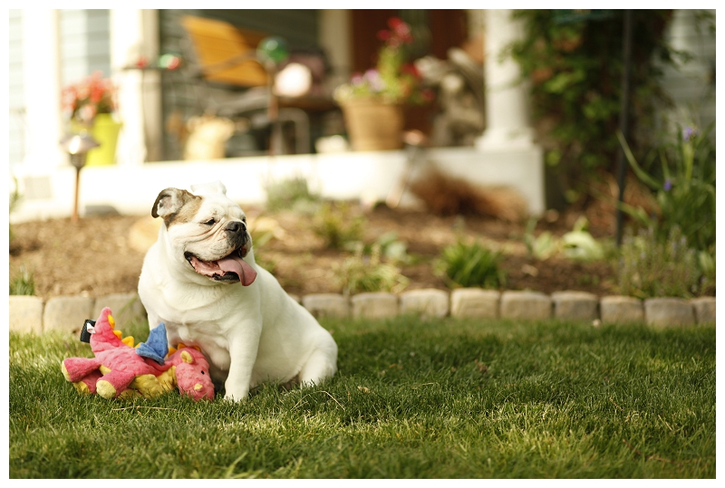 English Bulldog and her favorite plush toy, © photographs by Megan, lifestyle dog photography