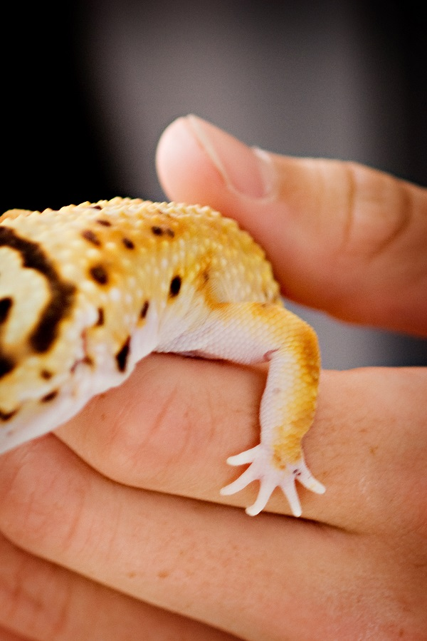 © Alice G Patterson Photography | leopard gecko foot up close, Syracuse-reptile-photography, Syracuse herpetology