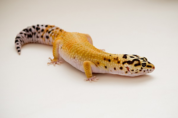 © Alice G Patterson Photography | Leopard Gecko, Syracuse-pet-photography, Syracuse reptile photographer