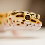 Syracuse Pet Photography, Alice G Patterson, Leopard Gecko