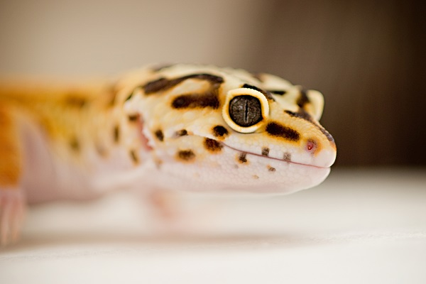 Happy Tails:  Greco, the Leopard Gecko #ReptileCare